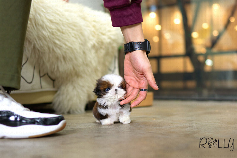 (Purchased by Wolstein) Bo - Shih Tzu. M - Rolly Teacup Puppies
