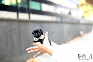 (Purchased by Gutierrez) Boba - Pug. F - Rolly Teacup Puppies