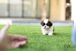 (SOLD to Kostrunek) Boba - Shih Tzu. M - Rolly Teacup Puppies - Rolly Pups