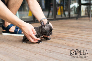Bobo - French Bulldog - Rolly Teacup Puppies - Rolly Pups
