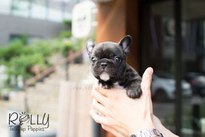 Bobo - French Bulldog - Rolly Teacup Puppies
