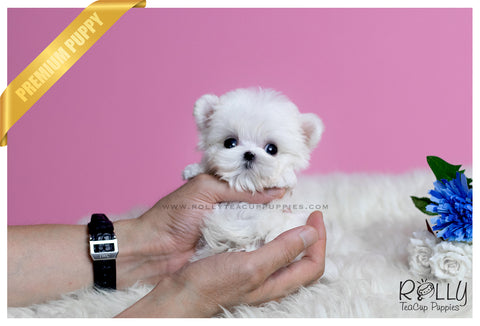 (SOLD to Holzhauer) Bobo - Maltese. M