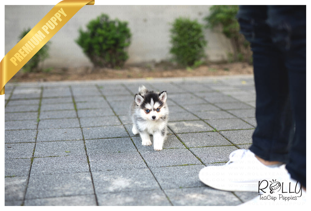 (SOLD to Orbach) Bobo - Pomsky. M - Rolly Teacup Puppies