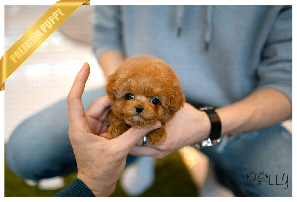 (Reserved by Lynn) Bobo - Poodle. M - Rolly Teacup Puppies