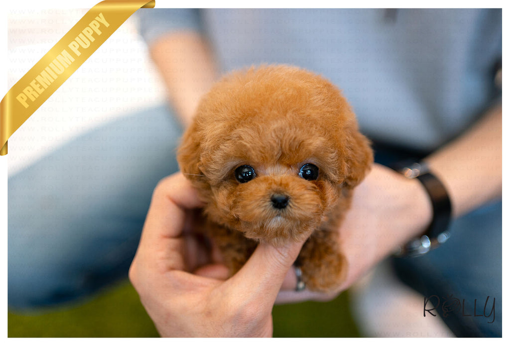 (Purchased by Lynn) Bobo - Poodle. M - Rolly Teacup Puppies