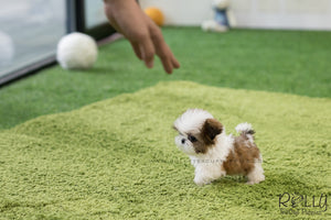 (SOLD to Mady S) Bobo - Shih Tzu. M - Rolly Teacup Puppies