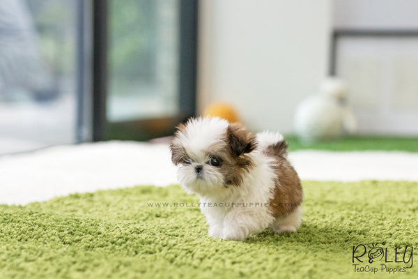 (SOLD to Mady S) Bobo - Shih Tzu. M