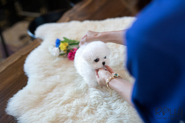 (Purchased by Mu)Bolt - Bichon. M - Rolly Teacup Puppies