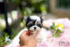 (Purchased by Ls) Bolt - Morkie. M - Rolly Teacup Puppies - Rolly Pups