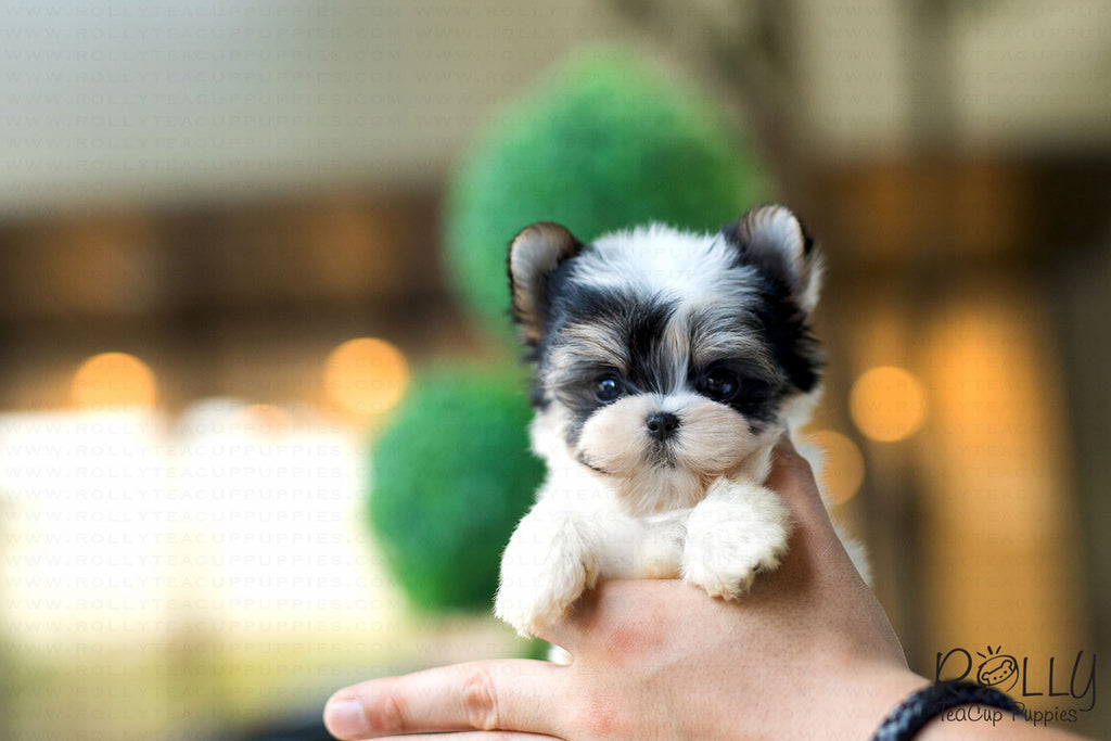 (Purchased by Ls) Bolt - Morkie. M - ROLLY PUPS INC