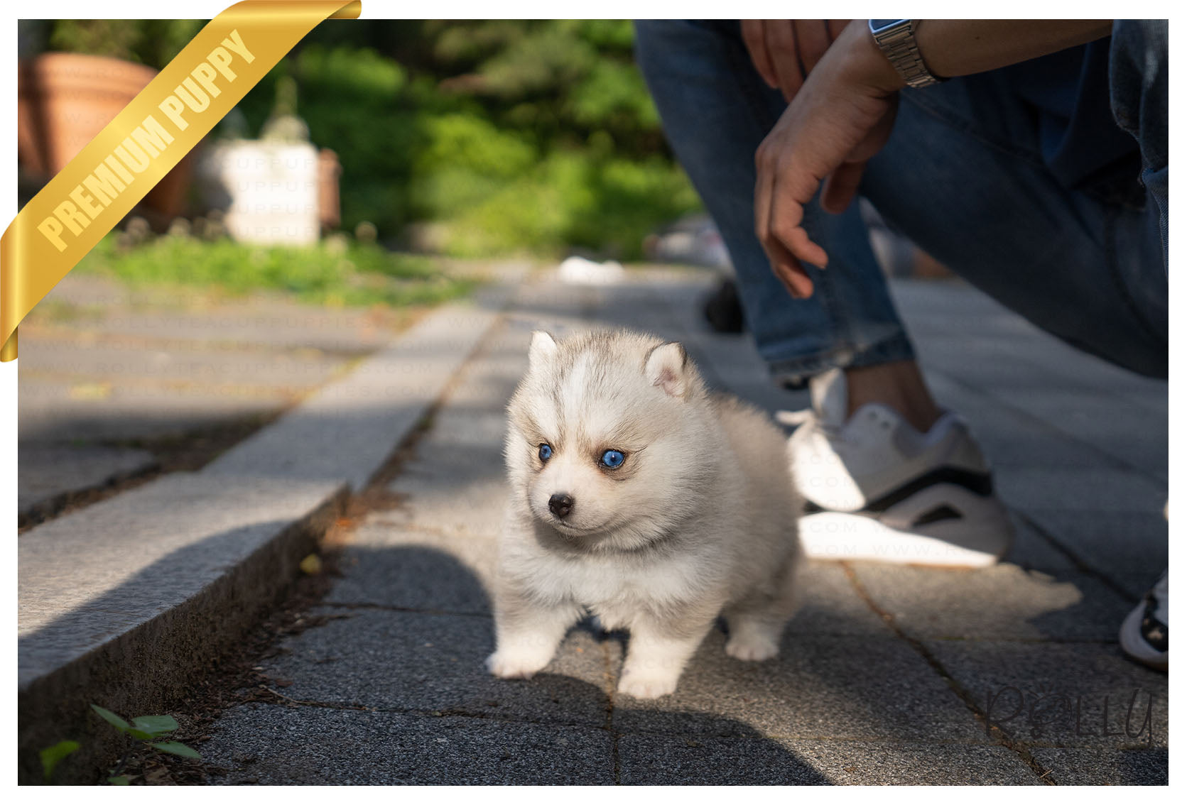 Purchased By Monforte Bolt Pomsky M Rolly Teacup Puppies