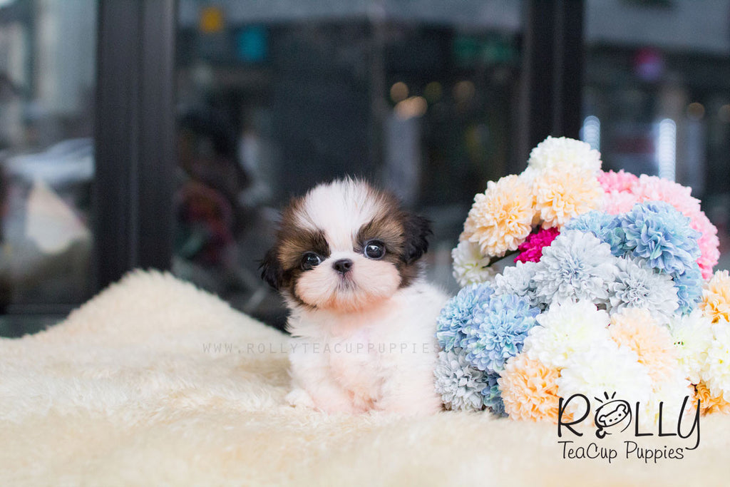 Bon Bon - Shih Tzu - Rolly Teacup Puppies - Rolly Pups
