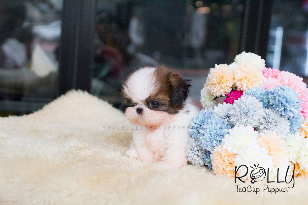 Bon Bon Shih Tzu Rolly Teacup Puppies