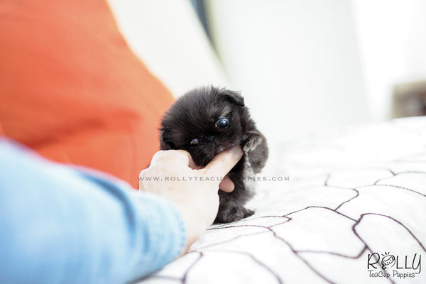 (SOLD to Stone) Bonnie - Pekingnese. F - Rolly Teacup Puppies