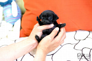 (SOLD to Barrett) Bonnie - Pug. F - Rolly Teacup Puppies - Rolly Pups
