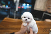 (PURCHASED by Stone) BONO - Bichon. M - Rolly Teacup Puppies - Rolly Pups