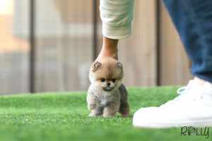 (Purchased by Fines) Boo - Pomeranian. F - Rolly Teacup Puppies - Rolly Pups