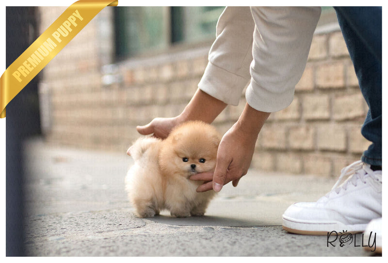 (Purchased by Ng) Boo - Pomeranian. F - Rolly Teacup Puppies