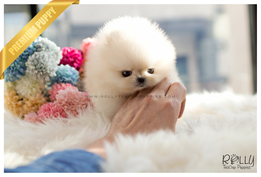 miniature pomeranian for sale near me sold to kurt boo pomeranian f rolly teacup puppies 1356