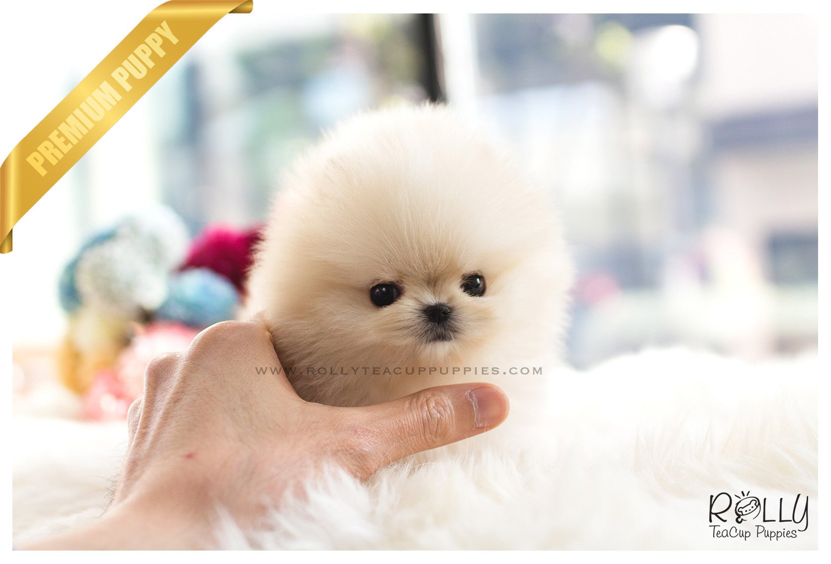 Sold To Kurt Boo Pomeranian F Rolly Teacup Puppies