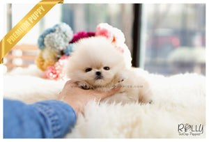 (SOLD to Kurt) Boo - Pomeranian. F - Rolly Teacup Puppies - Rolly Pups