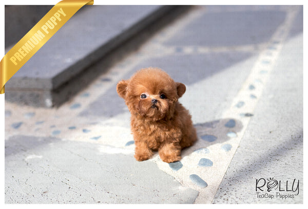 (SOLD to Gohar) Boo - Poodle. M - Rolly Teacup Puppies