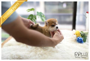 (SOLD to McKibben) Boo - Shiba. F - Rolly Teacup Puppies