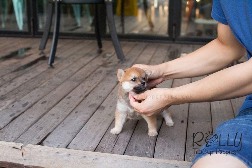 Boo - Shiba Inu - Rolly Teacup Puppies - Rolly Pups