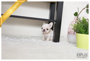 (SOLD to Galler) Boss - French Bulldog. M - Rolly Teacup Puppies