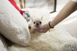 (Purchased by Norman) Brie - French Bulldog. F - Rolly Teacup Puppies