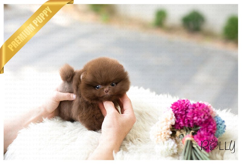 (Purchased by Yeh) Brownie - Pomeranian. M - Rolly Teacup Puppies - Rolly Pups