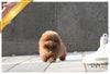 (Purchased by Yeh) Brownie - Pomeranian. M - Rolly Teacup Puppies
