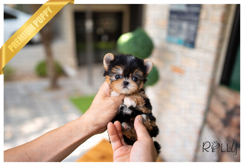 (RESERVED by Orr) BRUNO - Morkie. M - Rolly Teacup Puppies