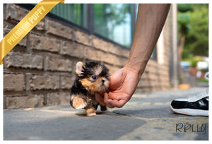 (Purchased by Orr) BRUNO - Morkie. M - Rolly Teacup Puppies - Rolly Pups