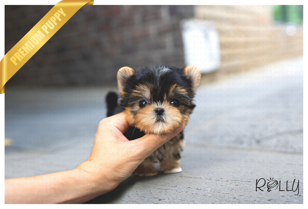 (Purchased by Orr) BRUNO - Morkie. M - ROLLY PUPS INC