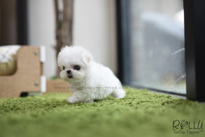 (SOLD to Logan) Bubble - Maltese. F - Rolly Teacup Puppies - Rolly Pups