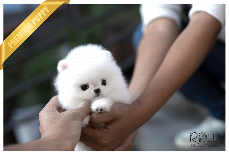 (Purchased by Kim) Bubble - Pomeranian. M - Rolly Teacup Puppies
