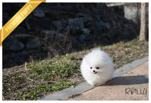 (Purchased by Gonzalez) Bubbles - Pomeranian. F - Rolly Teacup Puppies - Rolly Pups