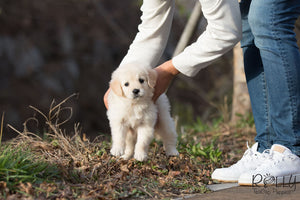 (Purchased by Abdulrahman) Buddy - Golden Retriever. M - Rolly Teacup Puppies