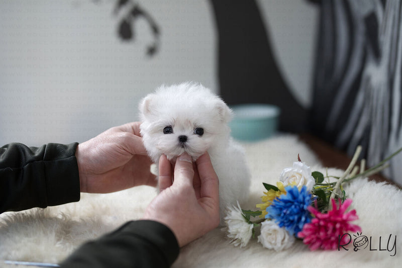 (Purchased by Lee) Buddy - Maltese. M - Rolly Teacup Puppies
