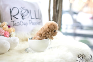 (Purchased by Auffort) Buddy - Poodle. M - Rolly Teacup Puppies - Rolly Pups