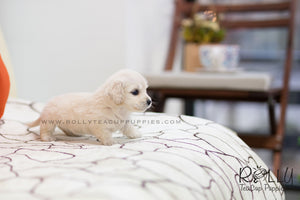 (SOLD to Lopez) Buffy - Dachshund. F - Rolly Teacup Puppies - Rolly Pups