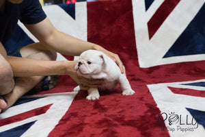 Boss - English Bulldog - Rolly Teacup Puppies