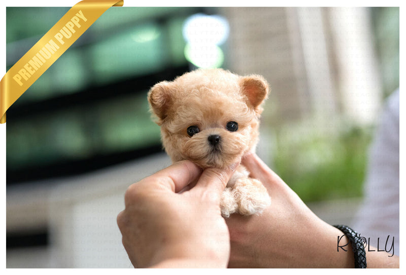 (PURCHASED by Sun) Bunny - Poodle. F - Rolly Teacup Puppies