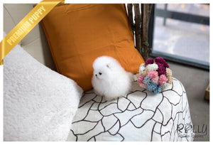 (Purchased by Kerouani) Buster - Pom. M - Rolly Teacup Puppies