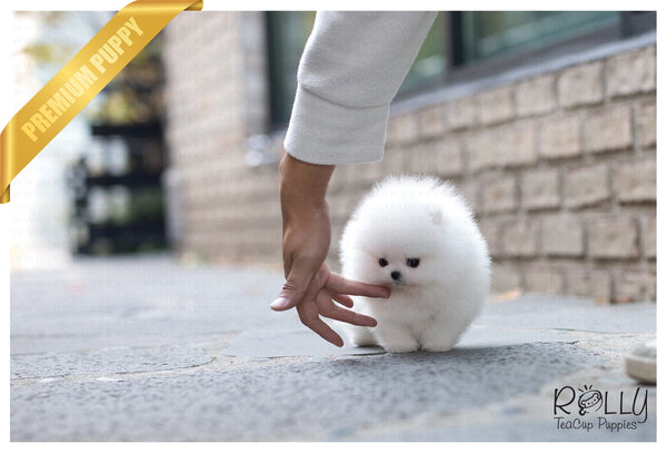 (RESERVED by Kerouani) Buster - Pom. M - Rolly Teacup Puppies