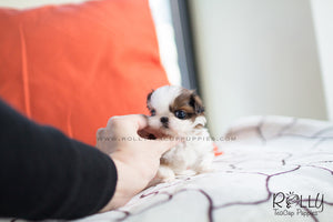 (SOLD to Torres) Dorothy - Shih Tzu. F - Rolly Teacup Puppies