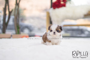 (SOLD to Torres) Dorothy - Shih Tzu. F - Rolly Teacup Puppies - Rolly Pups