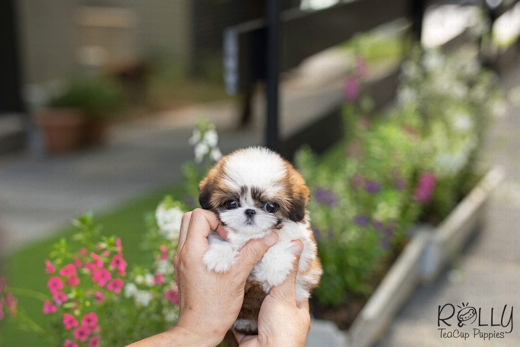 (RESERVED by Frost) Button - Shih Tzu. F