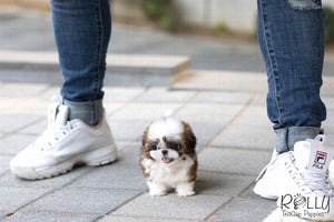 (Purchased by Frost) Button - Shih Tzu. F - Rolly Teacup Puppies - Rolly Pups